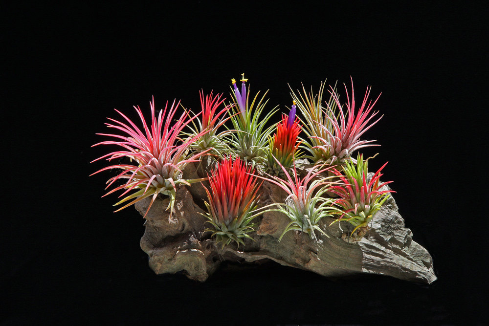 Tillandsia Ionantha package from Etsy shop Bloom Plants