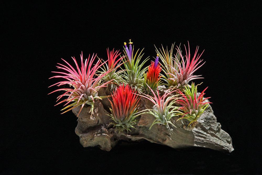 Tillandsia Ionantha package from Etsy shop Bloom Plants