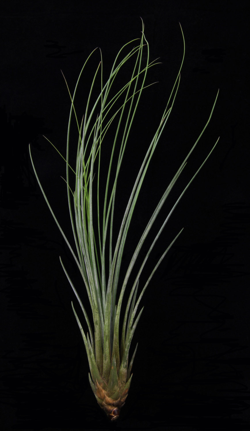 Tillandsia Juncea from Etsy shop Plant Oddities