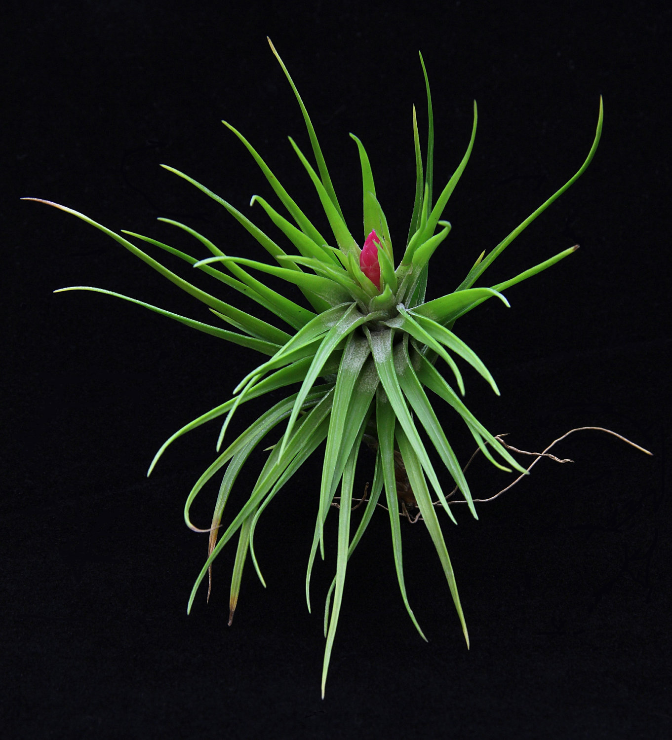 Tillandsia Tenuifolia from Etsy shop Plant Odditioes