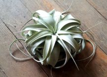 Tillandsia Xerographica from COVE 217x155 40 Stunning Photos Featuring Varieties and Types of Air Plants