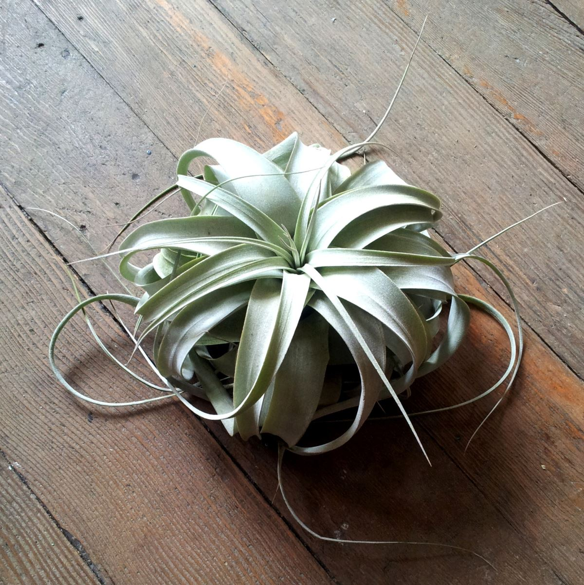 Tillandsia Xerographica from COVE