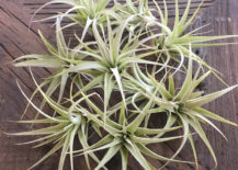 Tillandsia-Xerographica-pups-from-Etsy-shop-Marluna-Designs-217x155