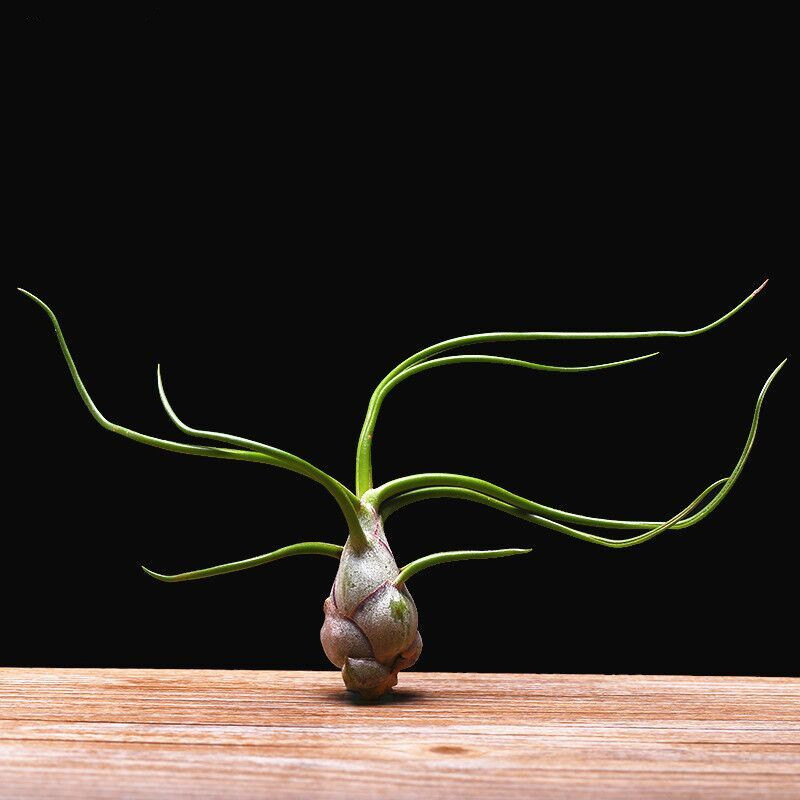 Tillandsia bulbosa air plant from Etsy shop NewDreamWorld