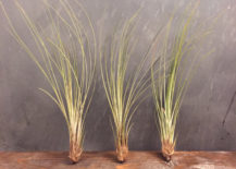 Trio-of-Tillandsia-Juncea-from-Etsy-shop-Pipe-Dreams-Decor-217x155