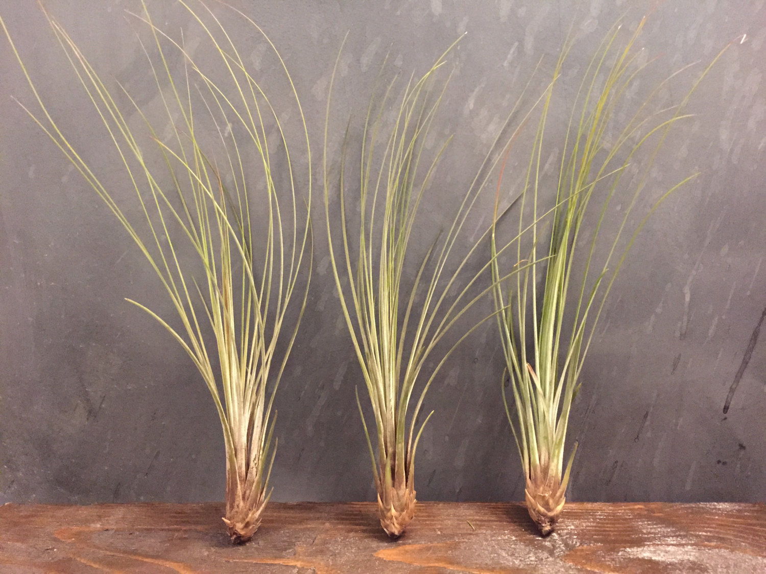 Tillandsia Juncea from Etsy shop Pipe Dreams Decor