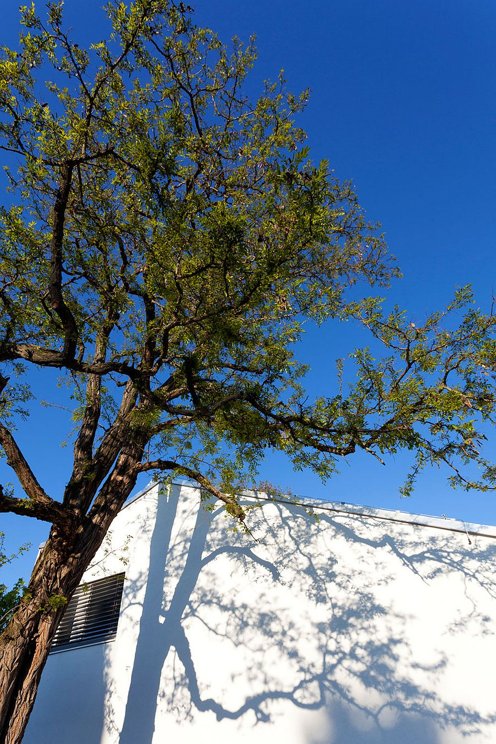 Tree offers shade to the house and natural cooling