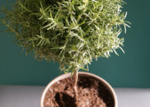 Festive rosemary topiary 217x155 Potted Topiary Tips That Maximize Greenery