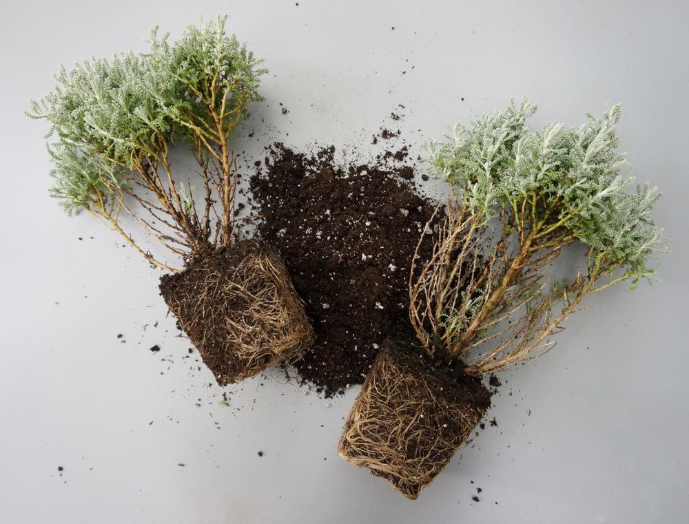 Gray santolina and potting soil
