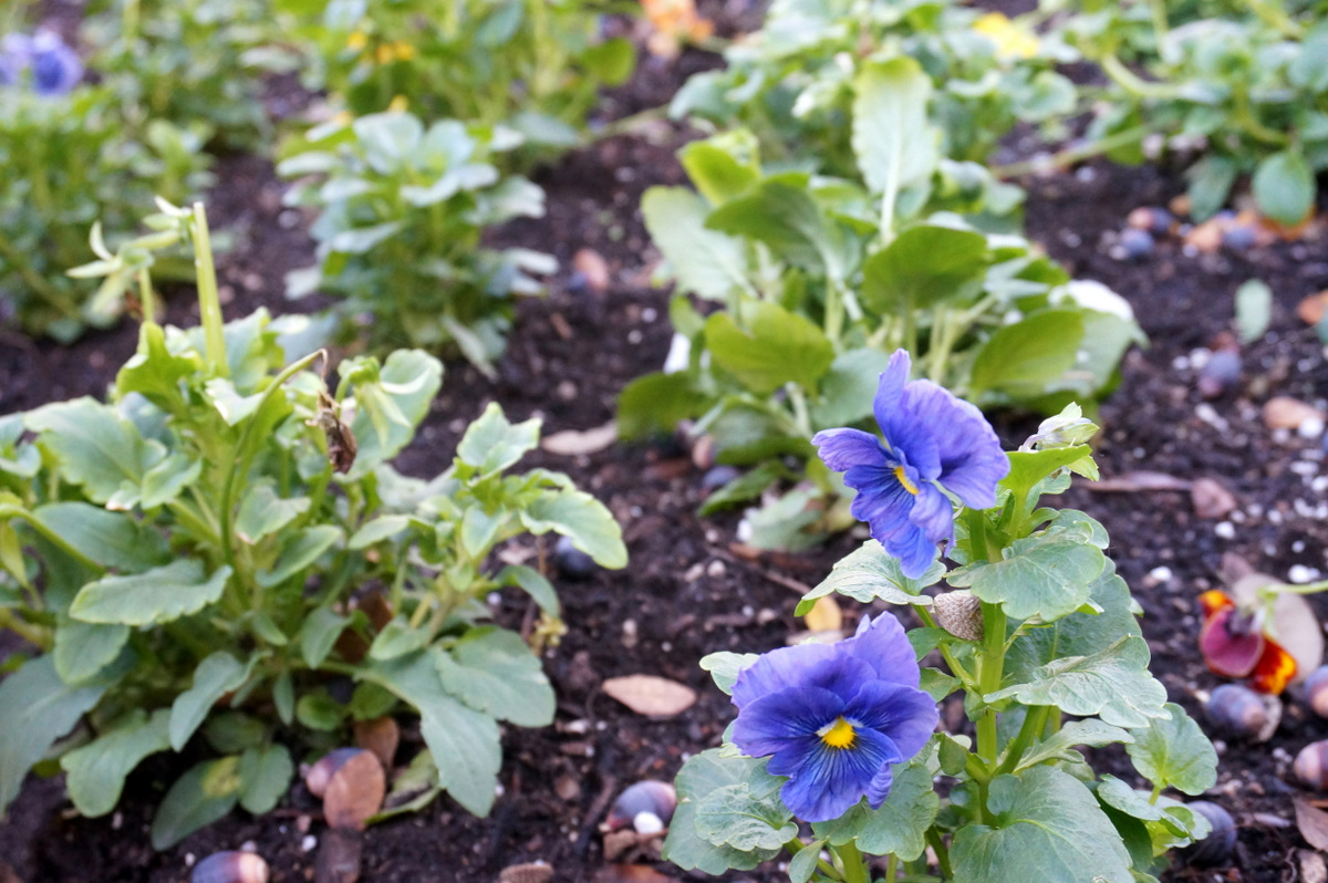 Pansies can thrive in some winter climates