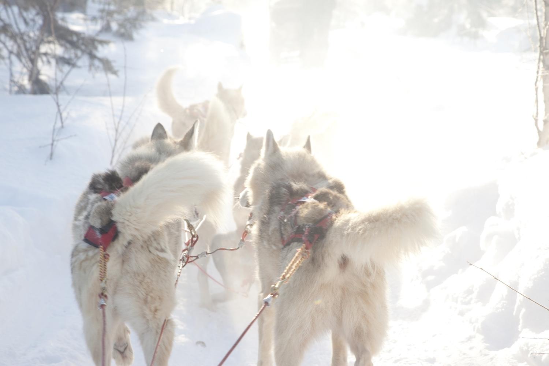 Huskies.Image©Visit Finland.