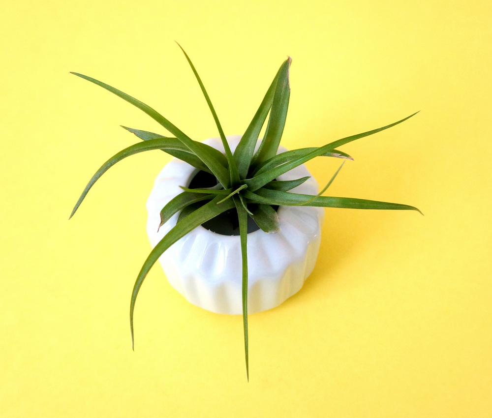 Air plant style