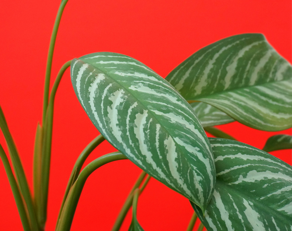 Chinese evergreen leaves
