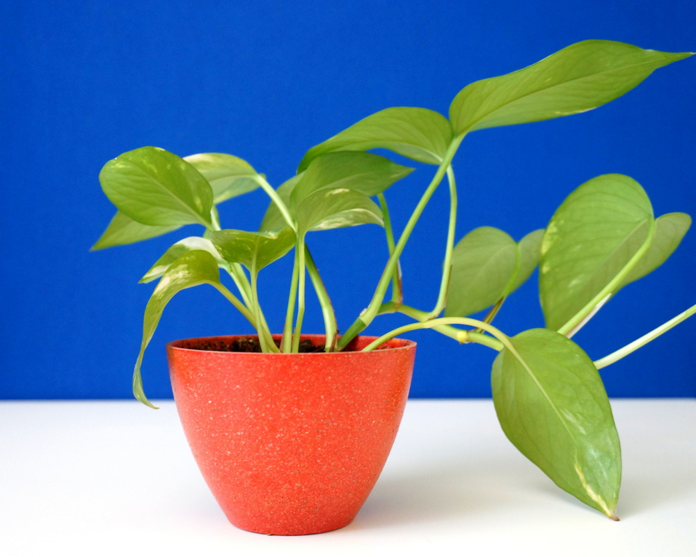 Golden pothos makes a healthy houseplant