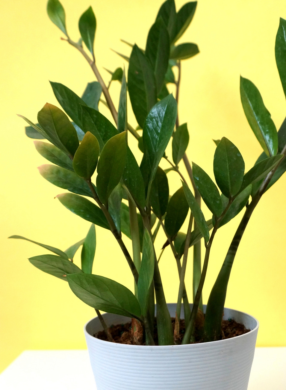 ZZ plant style