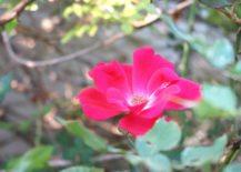 A-beautiful-rose-217x155