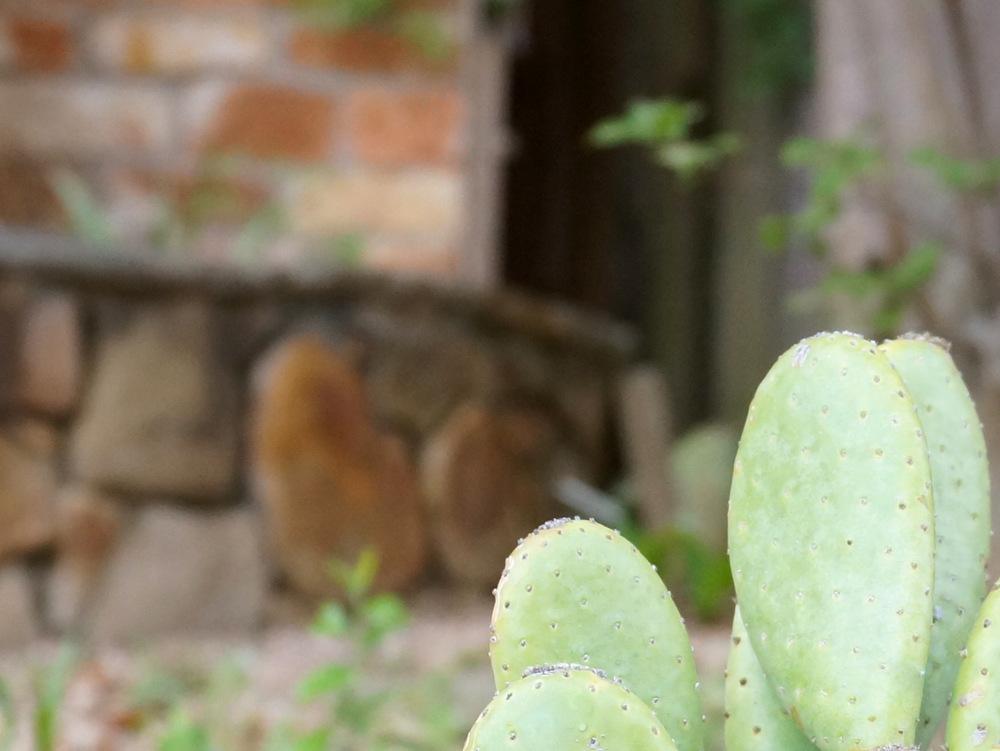 Cactus-in-a-modern-yard