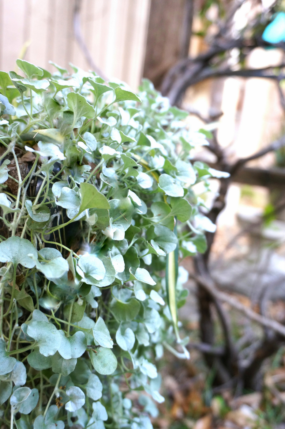 Cascading-silver-falls-dichondra