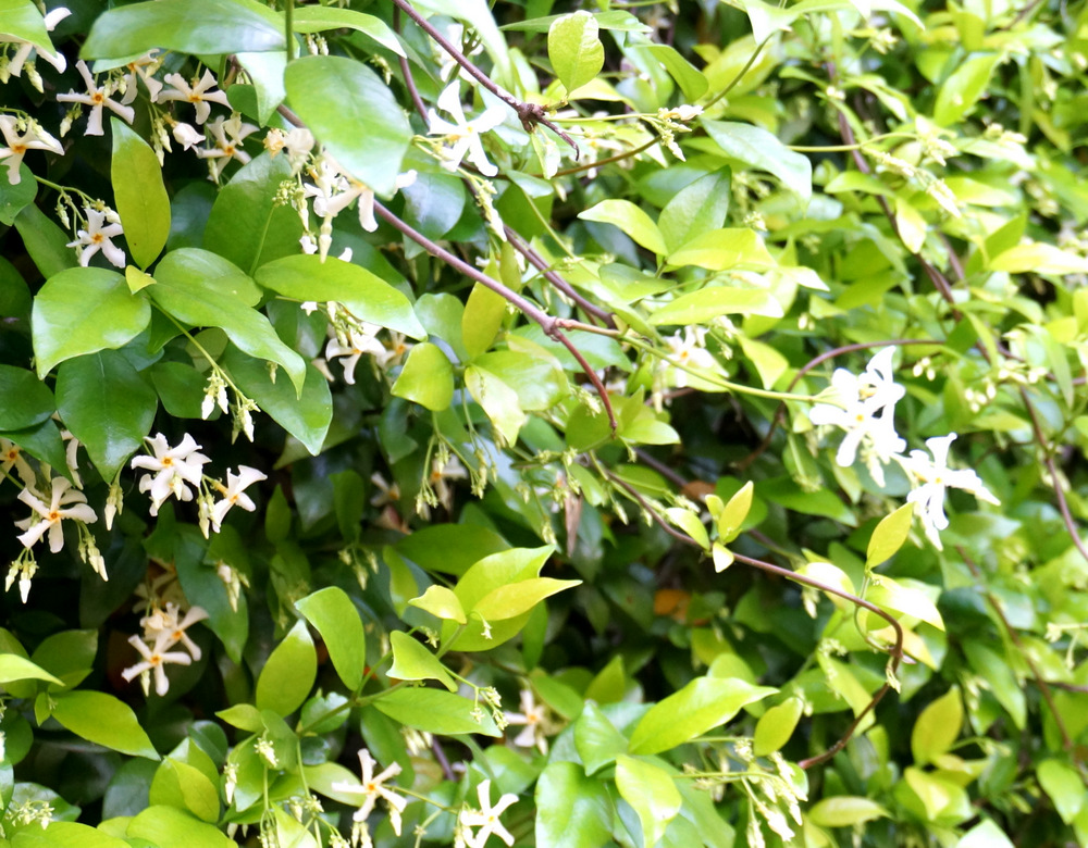 Flowering jasmine vine