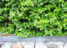 Rock-wall-and-jasmine-vine-217x155