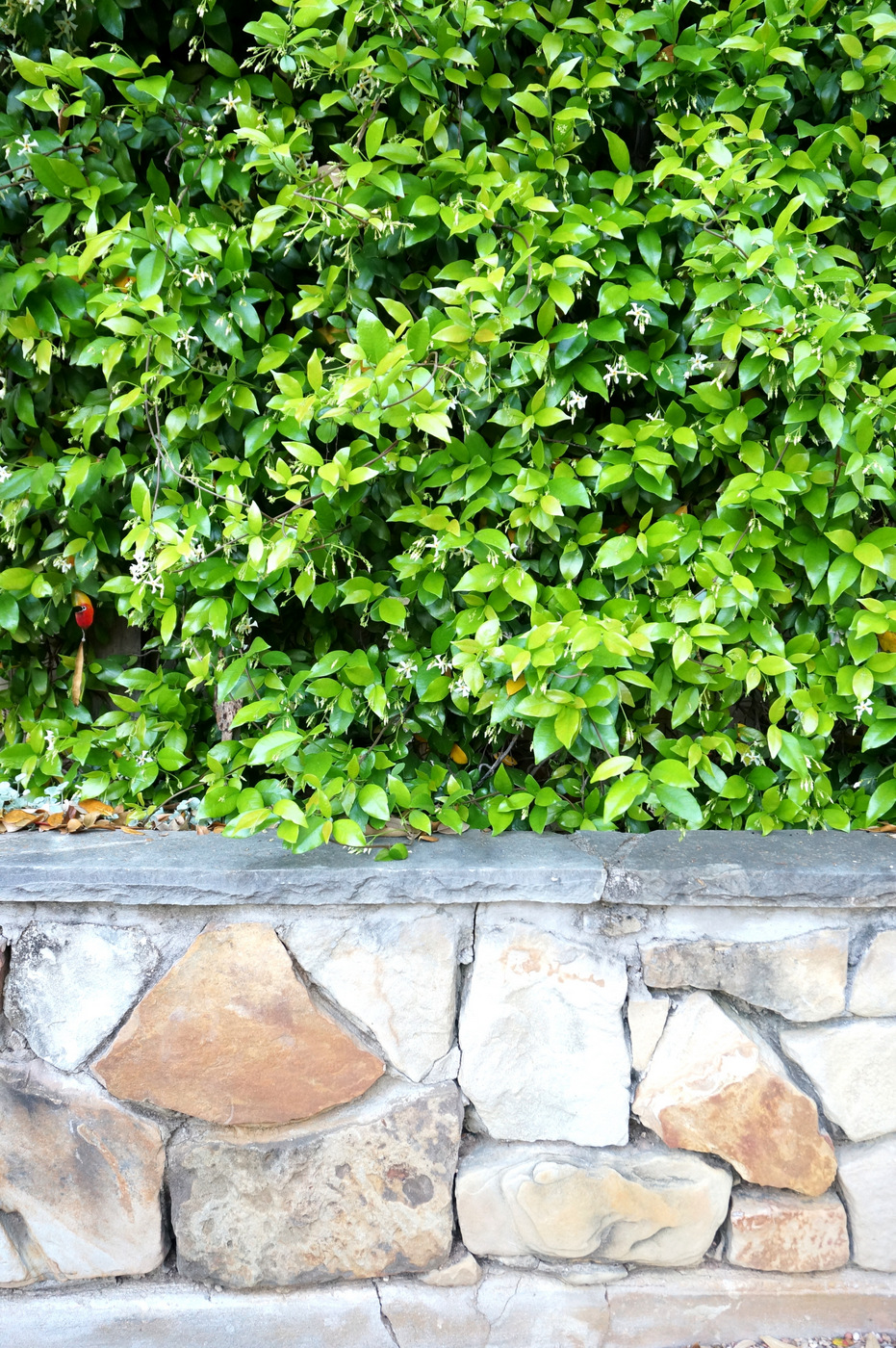 Rock wall and jasmine vine