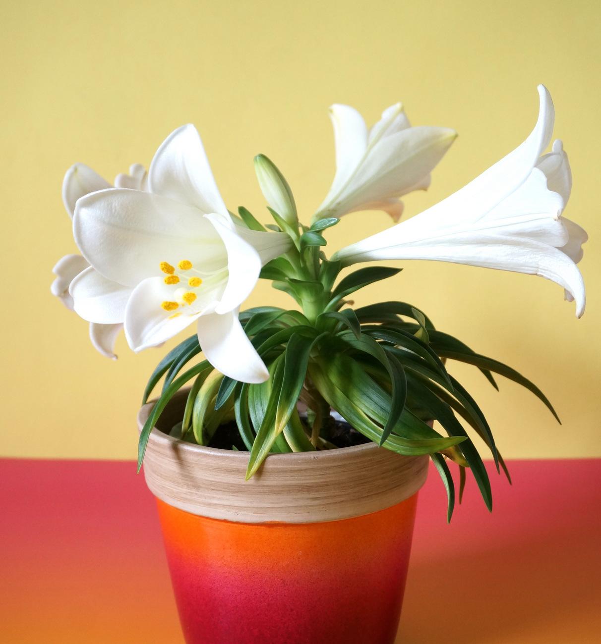 An Easter lily arrangement