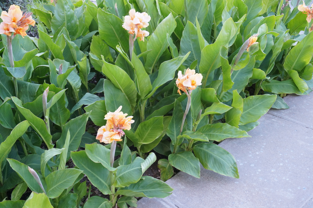 Canna-lily-blooms