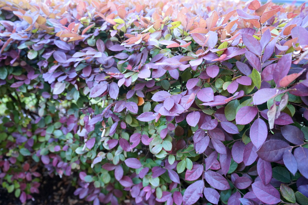 Loropetalum makes a nice border bush