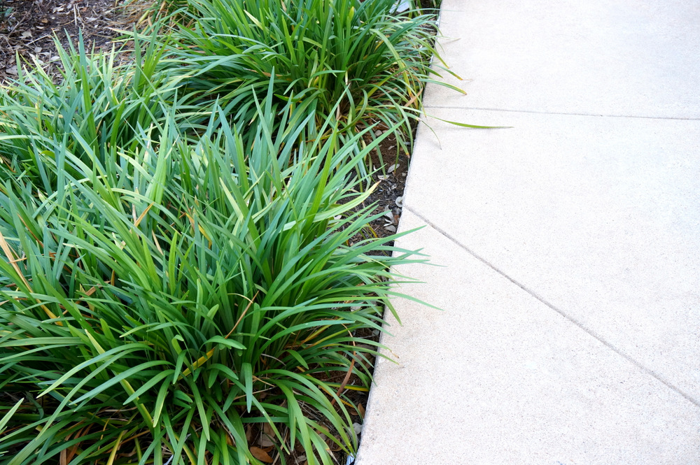 Monkey grass lines a walkway