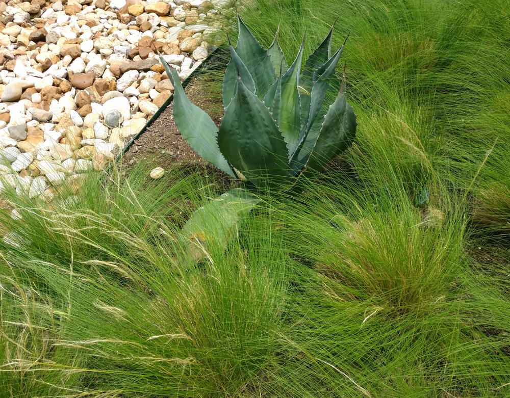Blue agave makes a big impact Gardening Tips for Creating a Modern Landscape