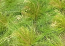 Cluster-of-Mexican-Feather-Grass-217x155
