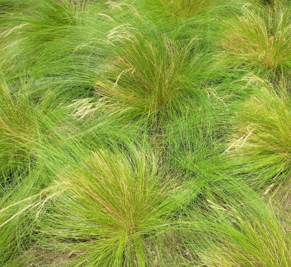 Cluster-of-Mexican-Feather-Grass