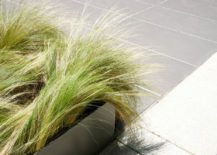 Mexican-feather-grass-217x155