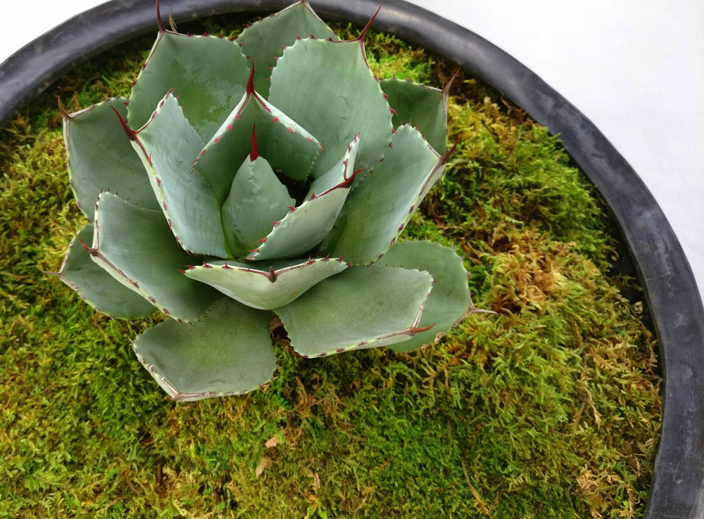 Moss-creates-a-platform-for-a-large-succulent
