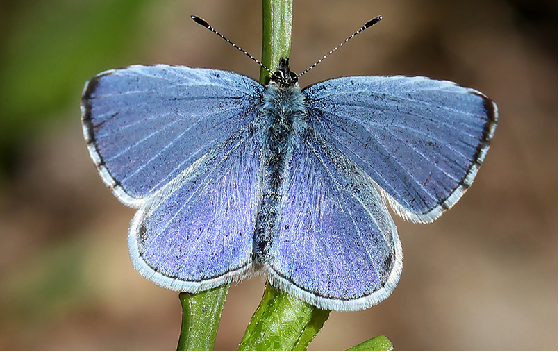holly-blue-butterfly