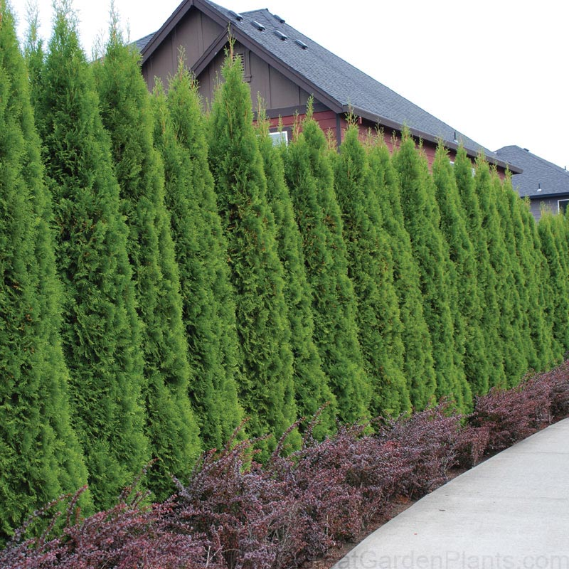 Arborvitae is a great privacy plant