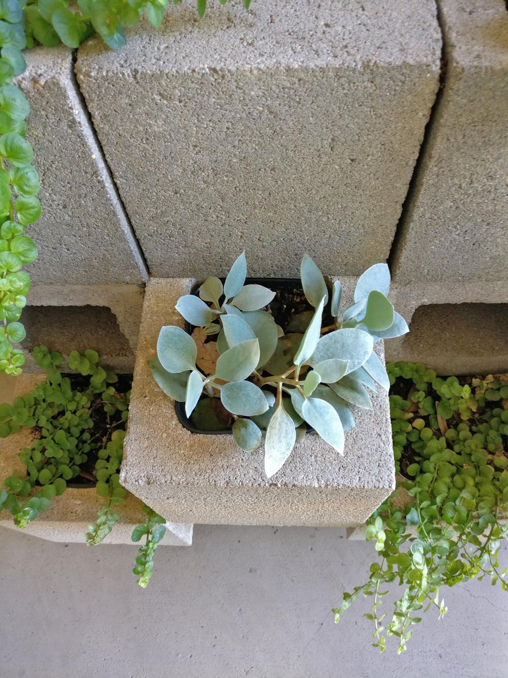 DIY-succulent-cinderblock-wall