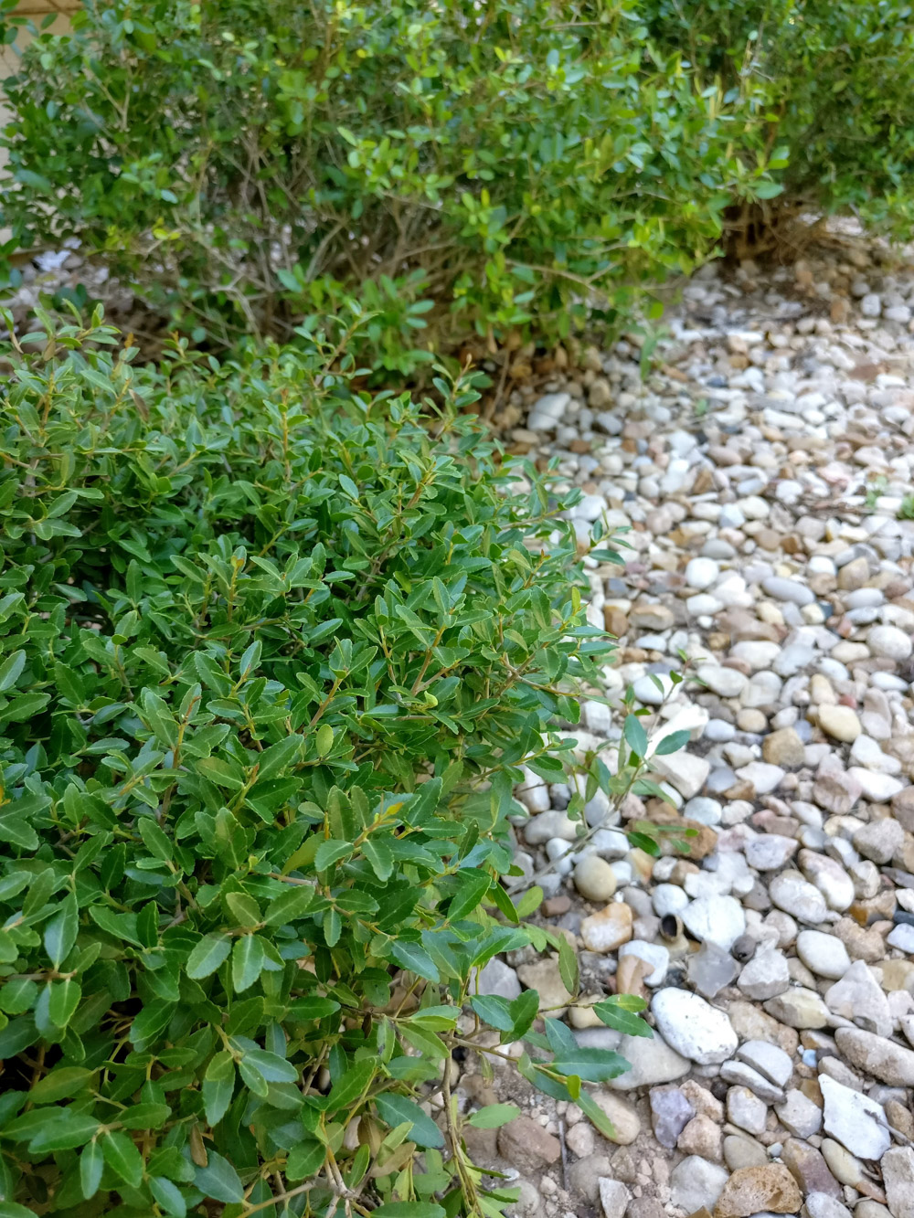 Dwarf yaupon shrubs and river rocks