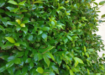 Jasmine-is-a-great-evergreen-vine-option-217x155