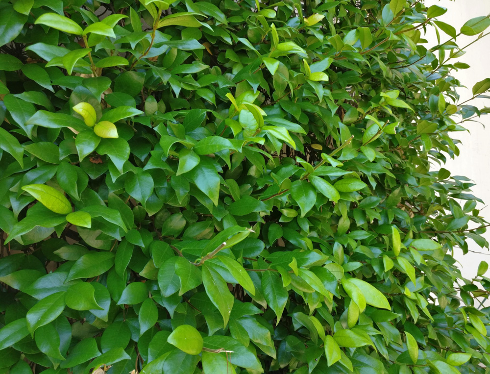 Jasmine is a great evergreen vine option