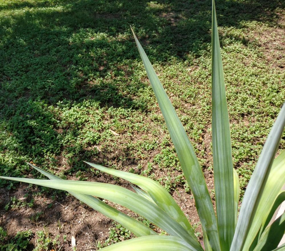 Soft-leaf yucca