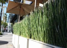 Horsetail-reeds-in-modern-planters-217x155