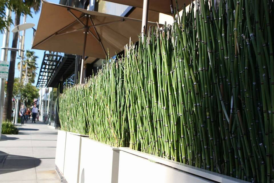 Horsetail reeds in modern planters