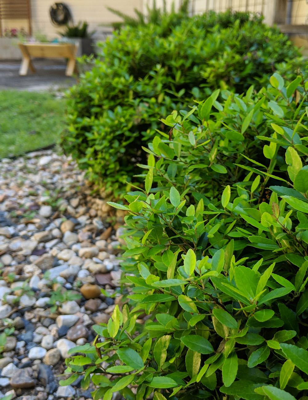 Dwarf-yaupon-adds-greenery