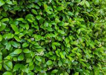 Jasmine-creates-an-abundant-green-backdrop-217x155
