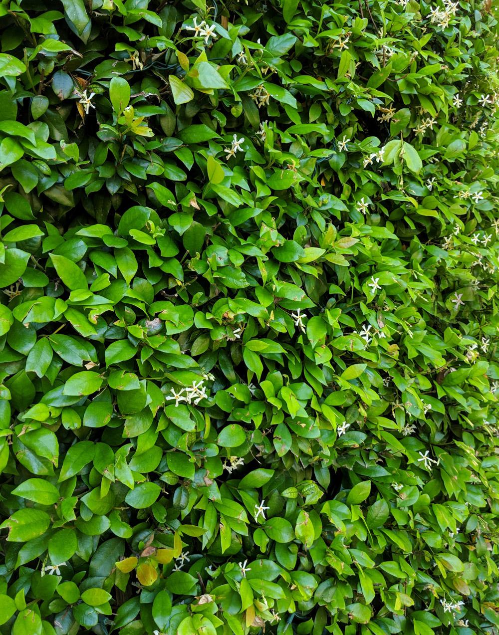 Jasmine-creates-an-abundant-green-backdrop