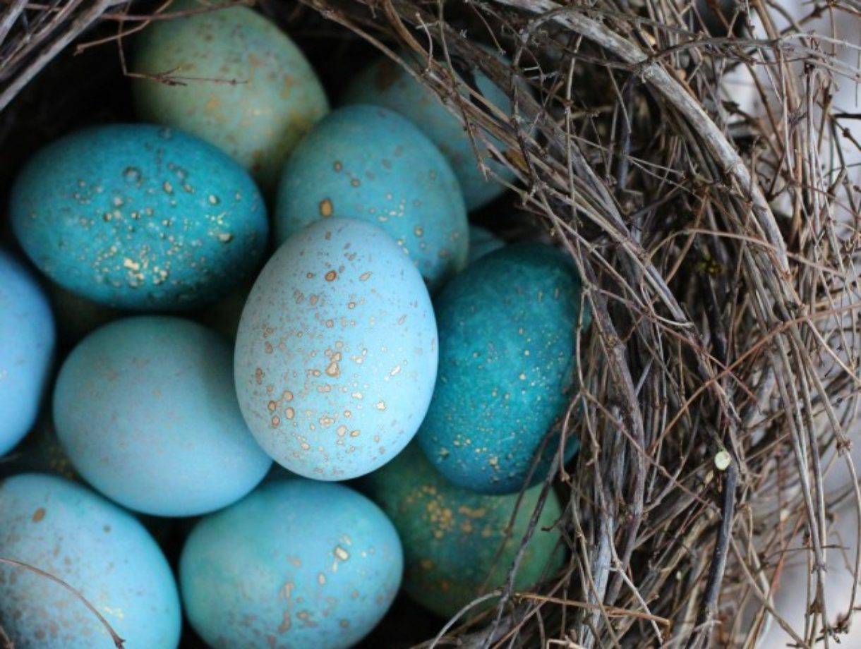 Naturally dyed blue eggs