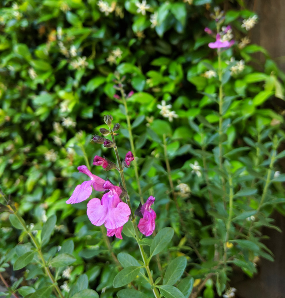 Salvia adds color to the spring garden