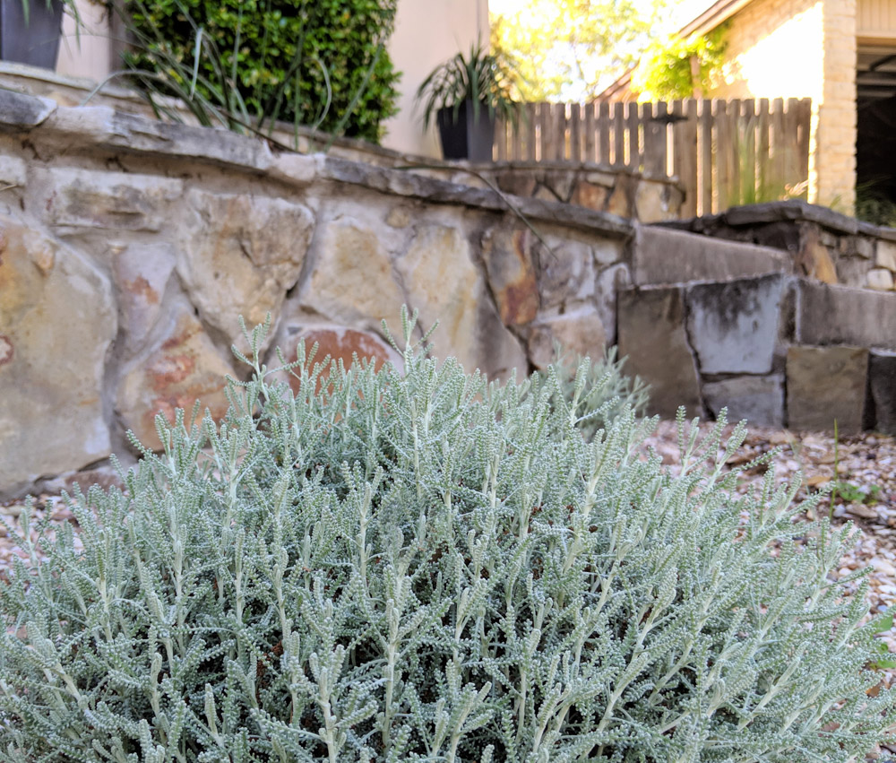 Santolina-adds-silvery-green-color