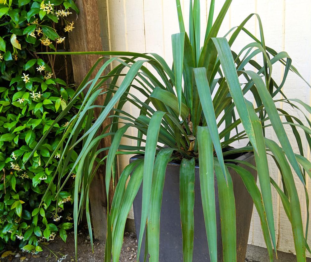 Soft-leaf-yucca-in-a-modern-grey-pot
